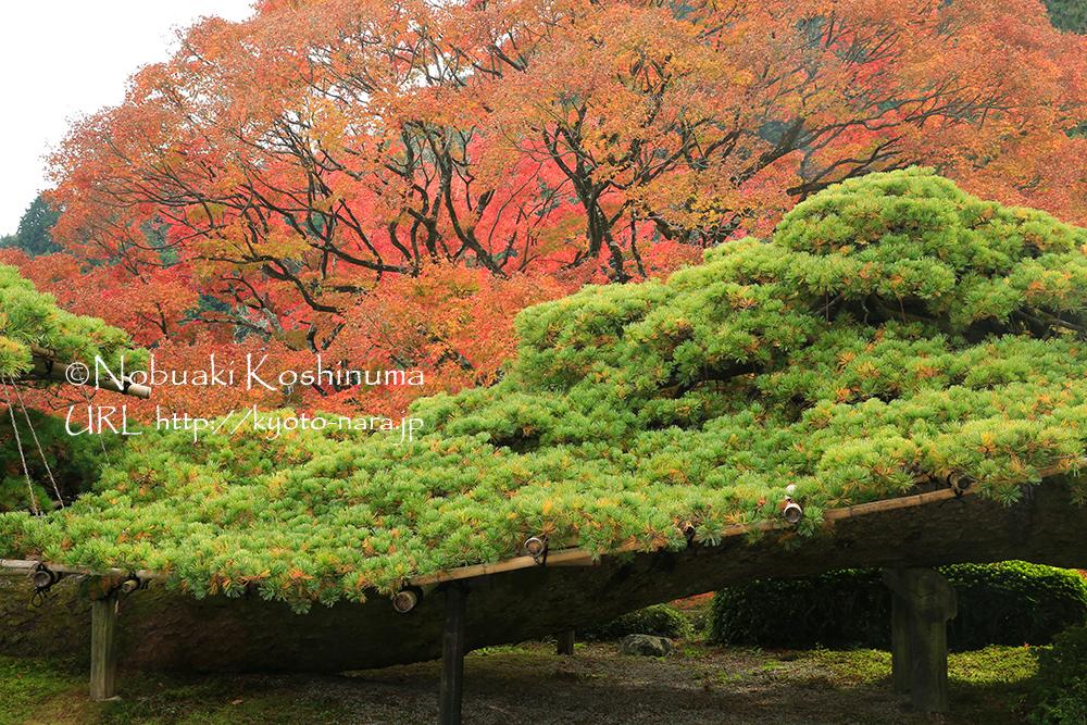 日本一と言われる天然記念物の「遊龍(ゆうりゅう)の松」。樹齢600年以上で全長37mもあります!