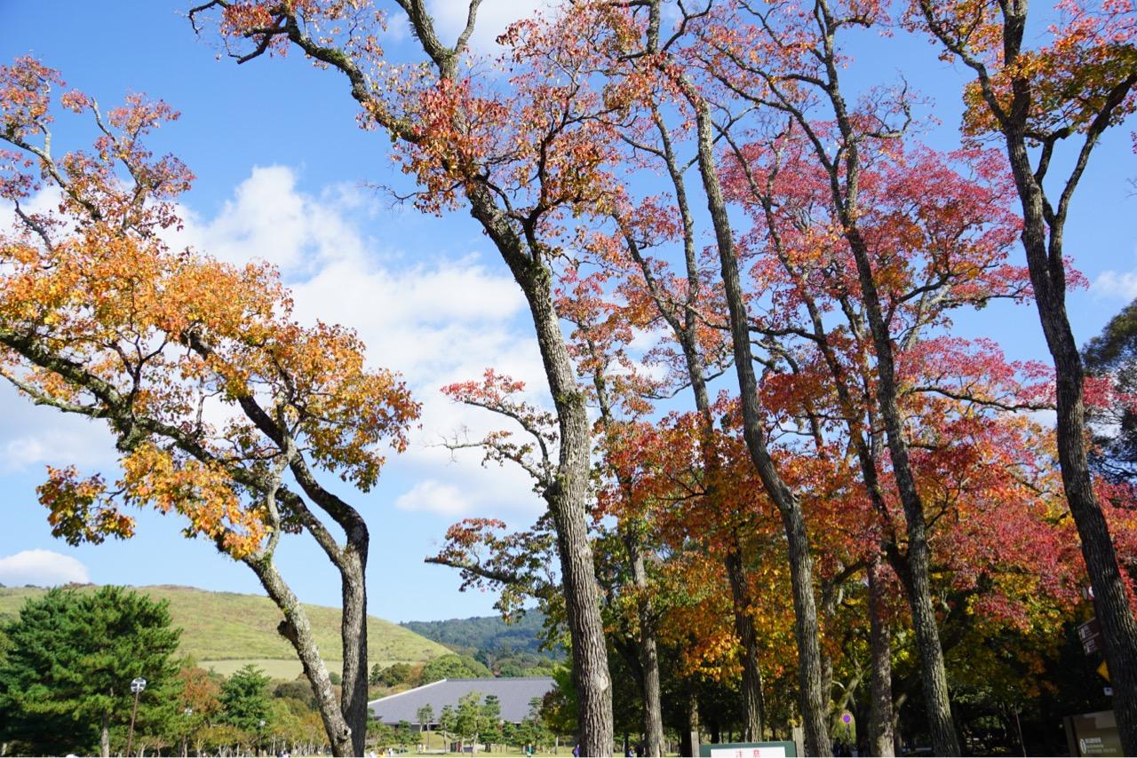 奈良公園の紅葉がさらに綺麗になっていました。