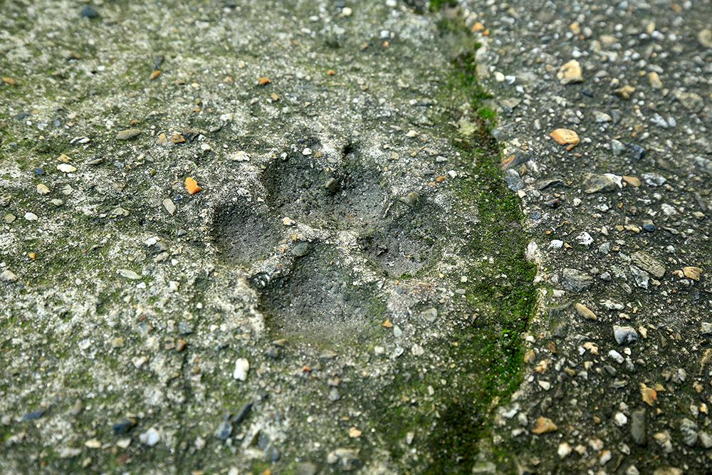 鳥居をくぐって200m位のところに、な・なんとトラの足跡が!!?