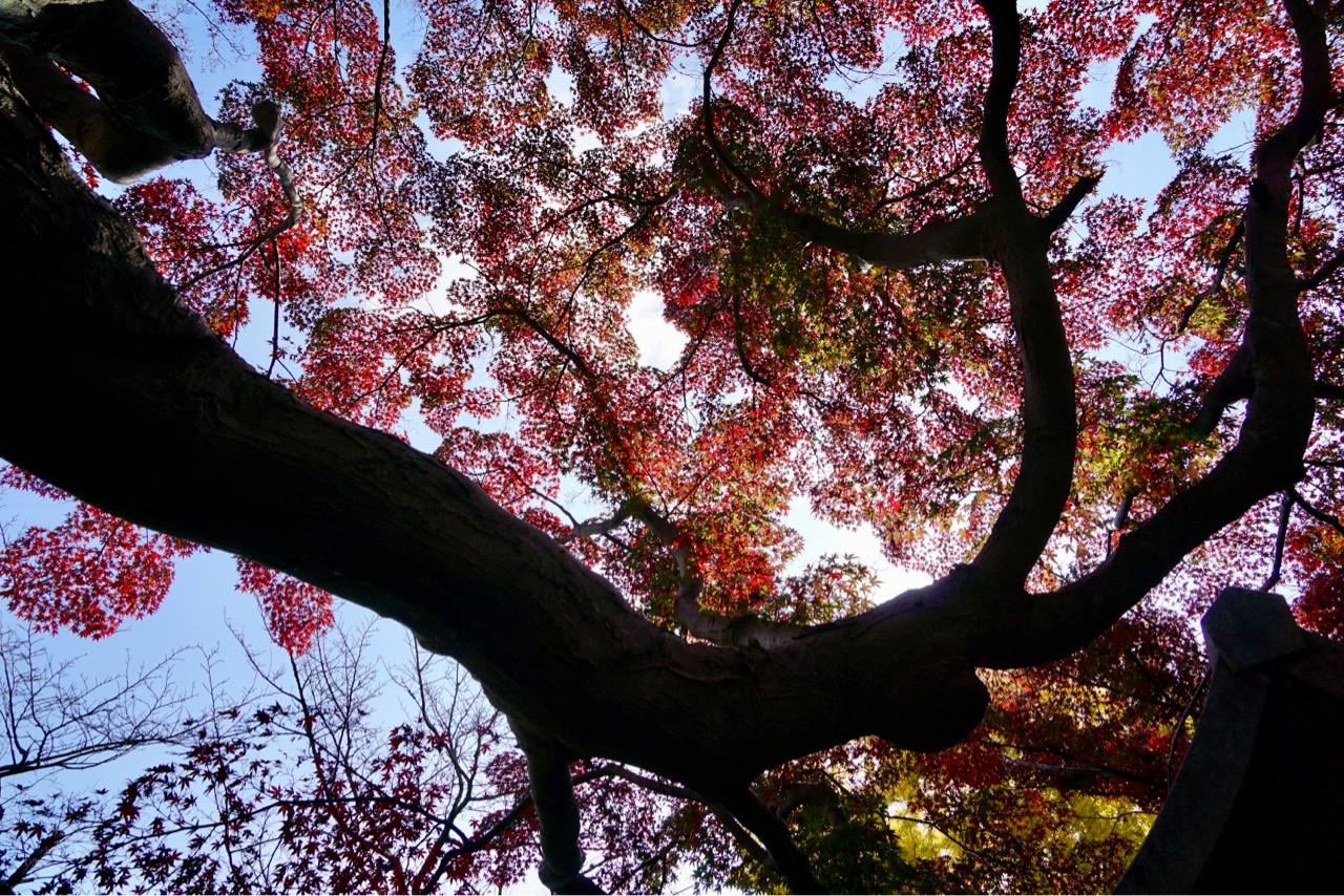 信貴山の山の傾斜にたくさんの木々が紅葉し、見頃を迎えています。この木は大迫力でした。