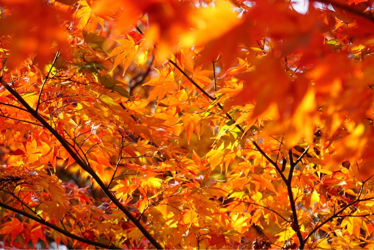 葉が痛んだり虫食いされていなくて綺麗な紅葉でした。日に当たって輝いていました。