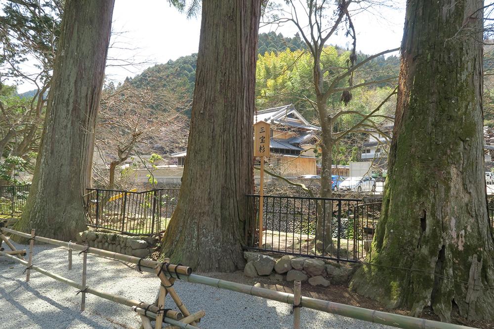 参道にある三宝杉。樹齢は150~200年だそうです。