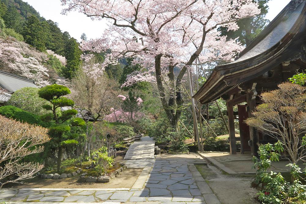 本坊の桜も見事です。