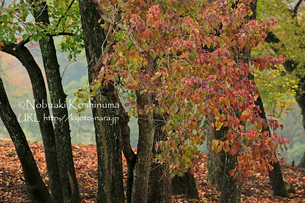 奈良にはナンキンハゼも多く、グラデーションの素晴らしい紅葉が楽しめます!