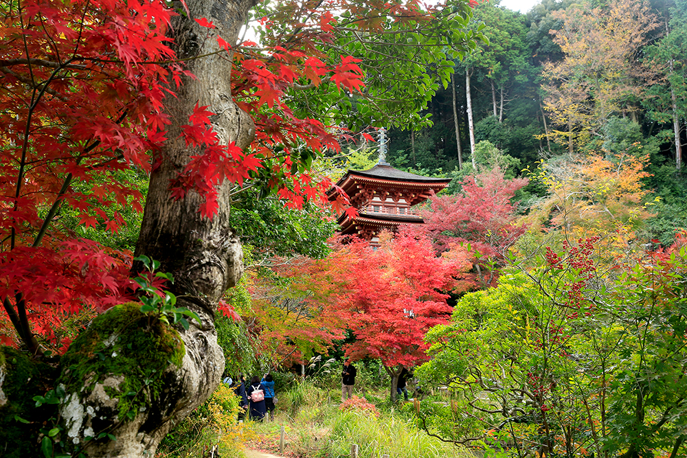国宝の三重塔付近の紅葉も見頃を迎え、たくさんの人が訪れていました。