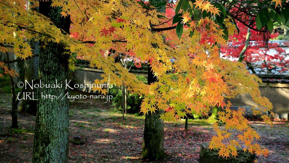 キラキラと輝くモミジの葉。