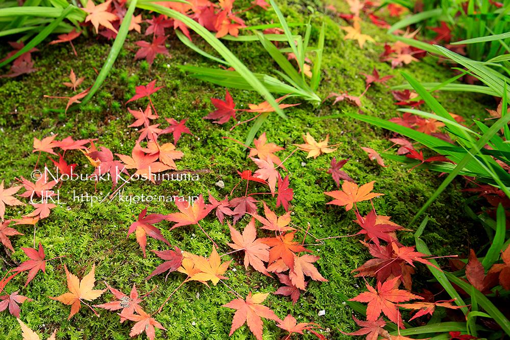 一休寺の葉は傷みもなく、とてもきれいな状態でした。