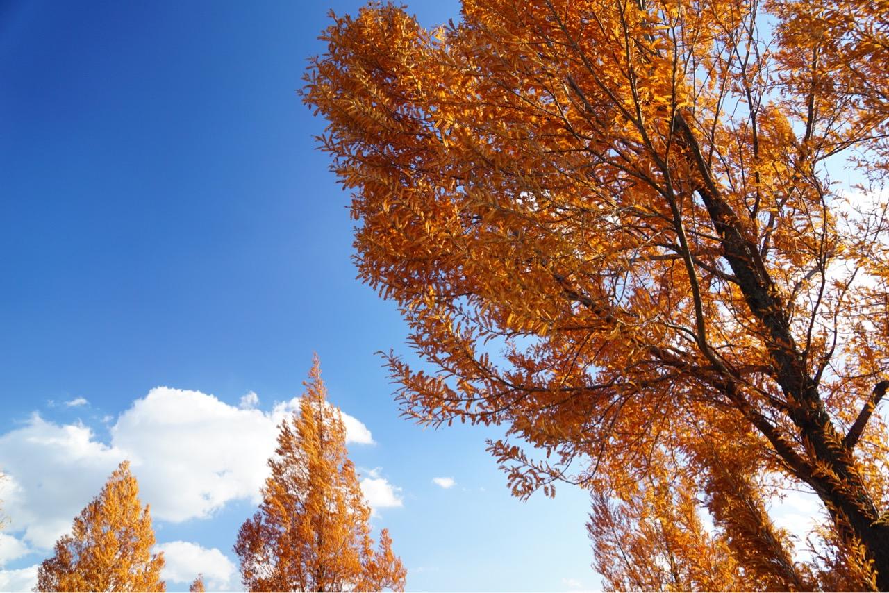 赤く紅葉し、とても鮮やかで綺麗でした。