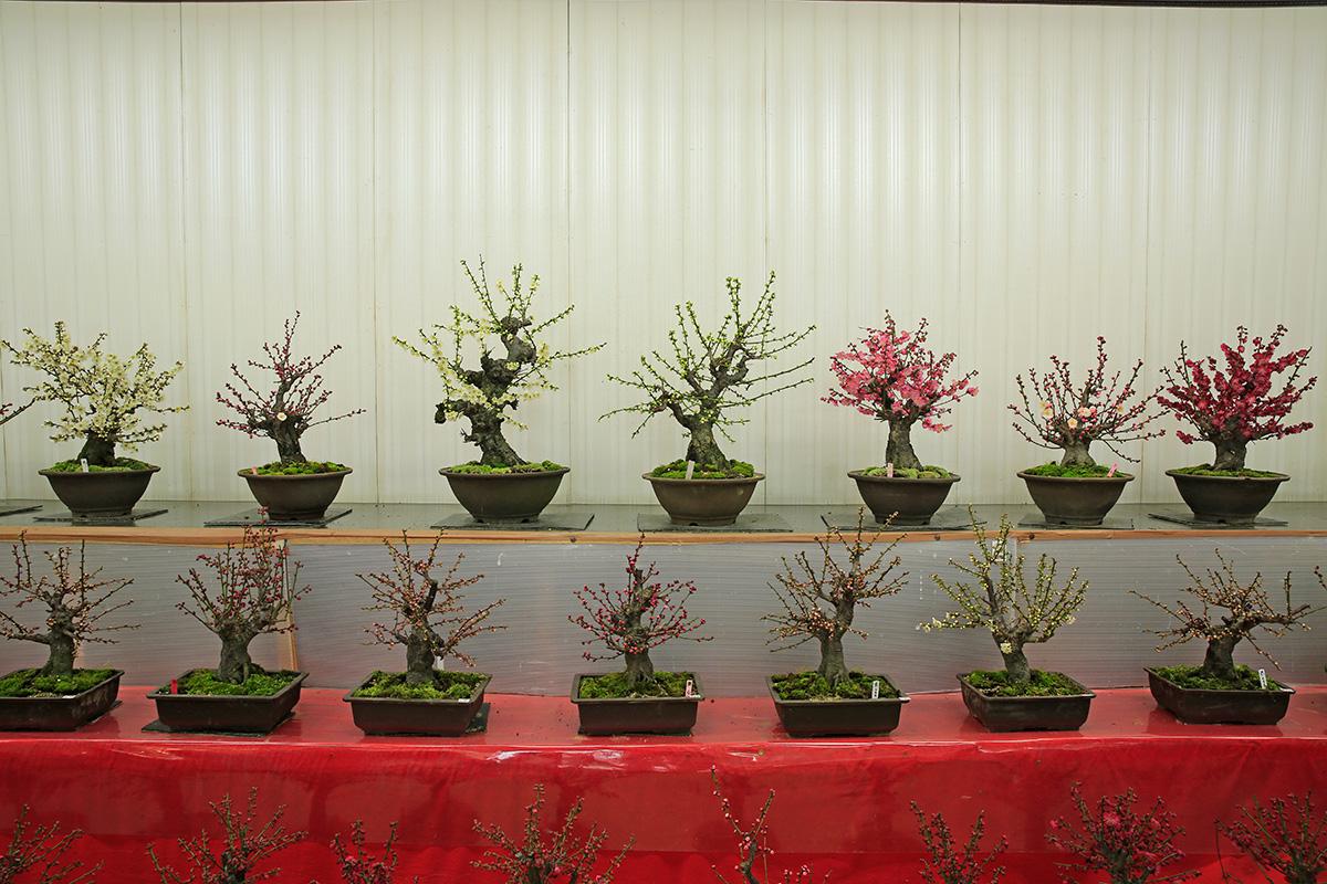枝ぶりの良い盆栽がたくさん。花びらの外側が桃色で中央が白くなる酔心梅という鉢もありました。