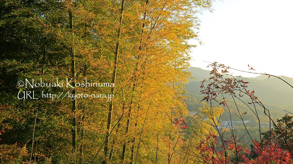 朝日を浴びた竹の葉が黄金色に輝いていました。