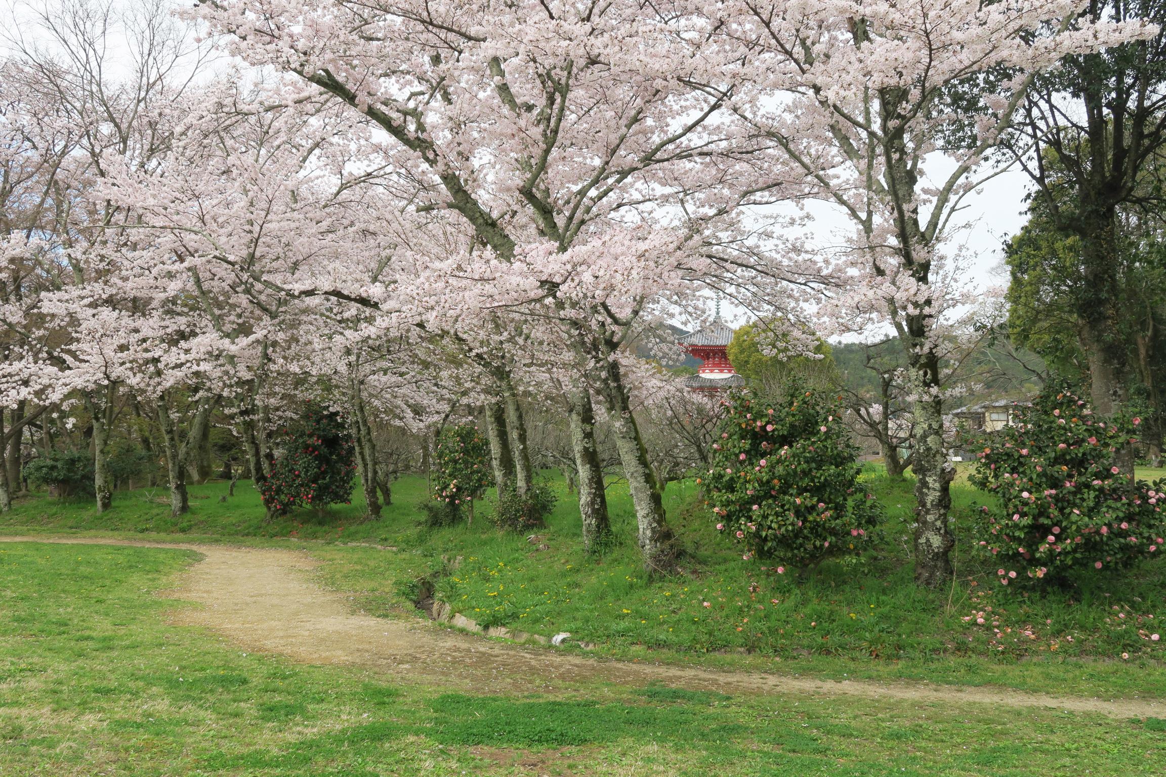 桜の間から多宝塔が見えます。