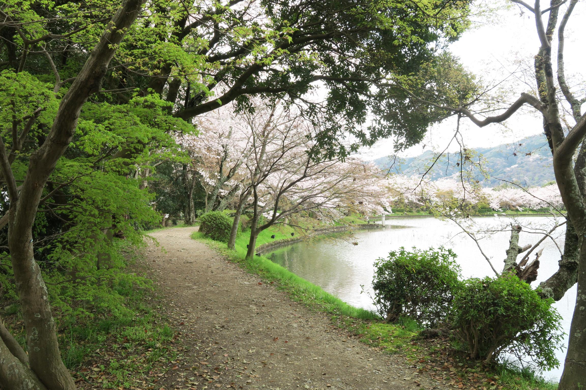 大沢池は日本最古の庭池だそうです。中国の洞庭湖を模していることから「庭湖」とも呼ばれています。