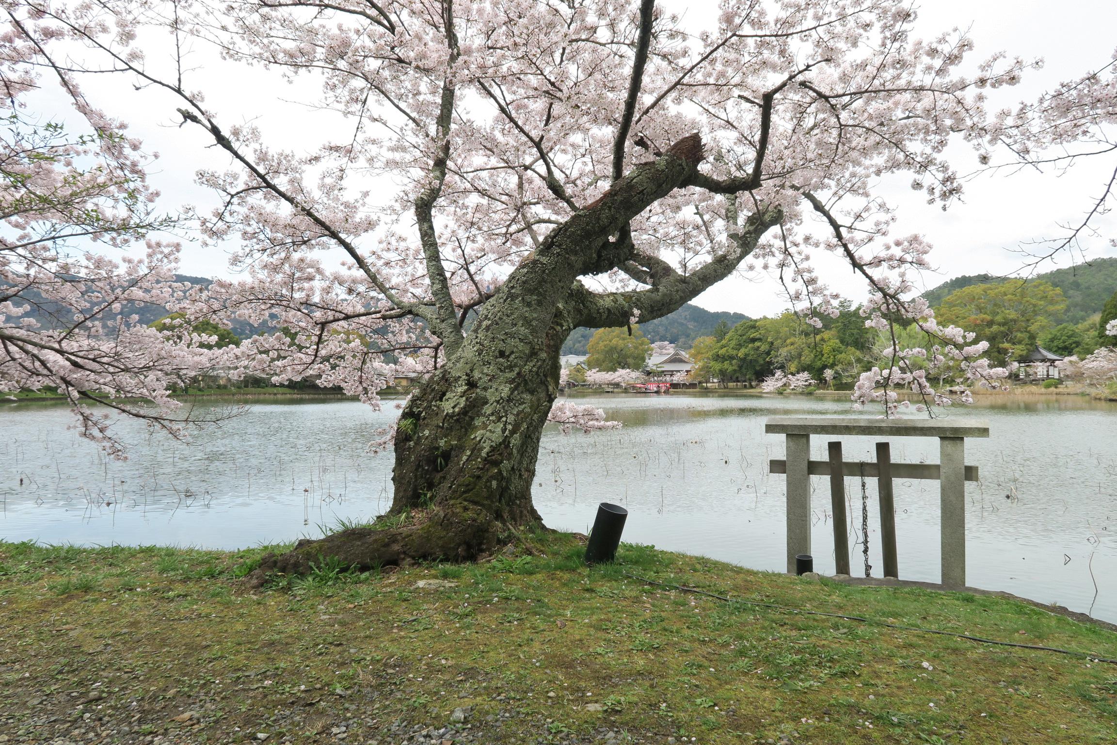 池に沿って桜が植えられています。山々の稜線も美しく、癒されます。