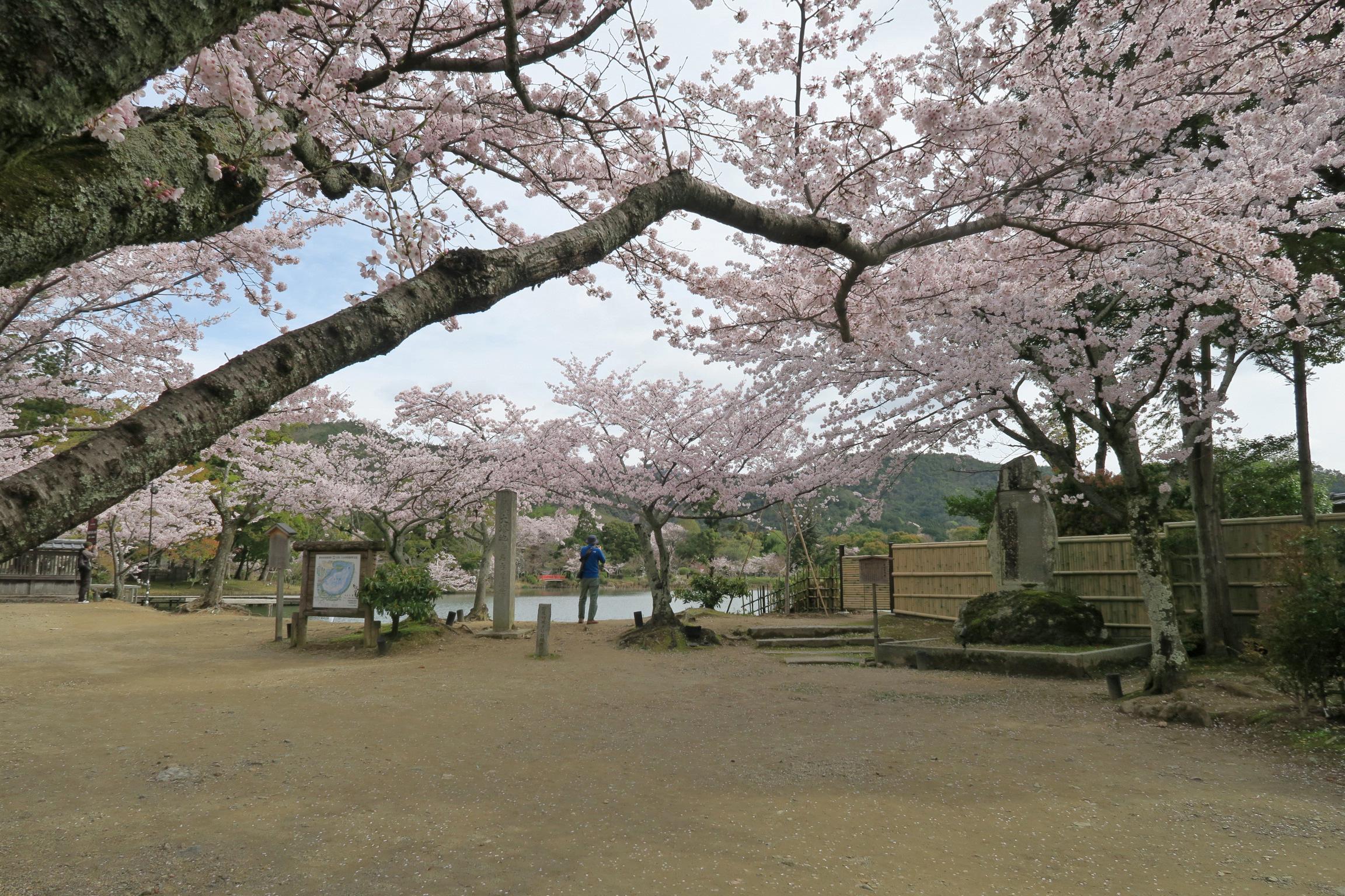 すでに桜が満開。きれいです。