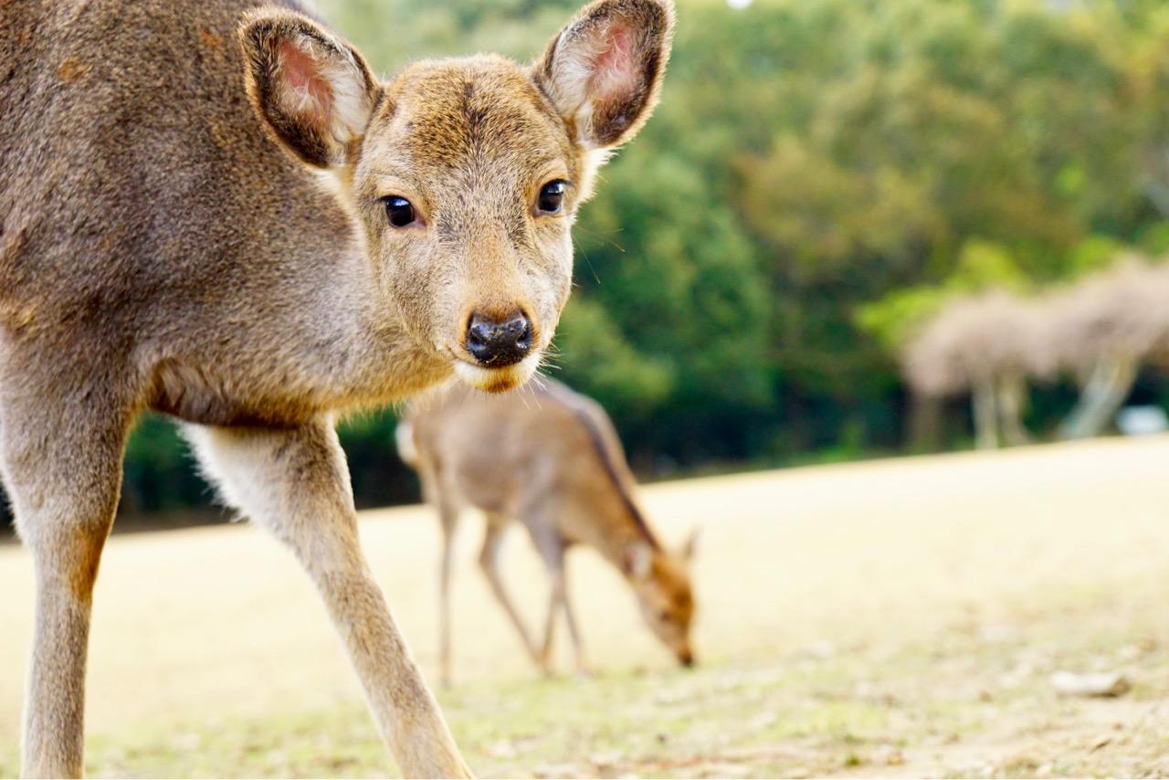 鹿寄せに行ったのは二度目でしたが、ホルンの音色で走ってくる鹿はとても可愛いです。