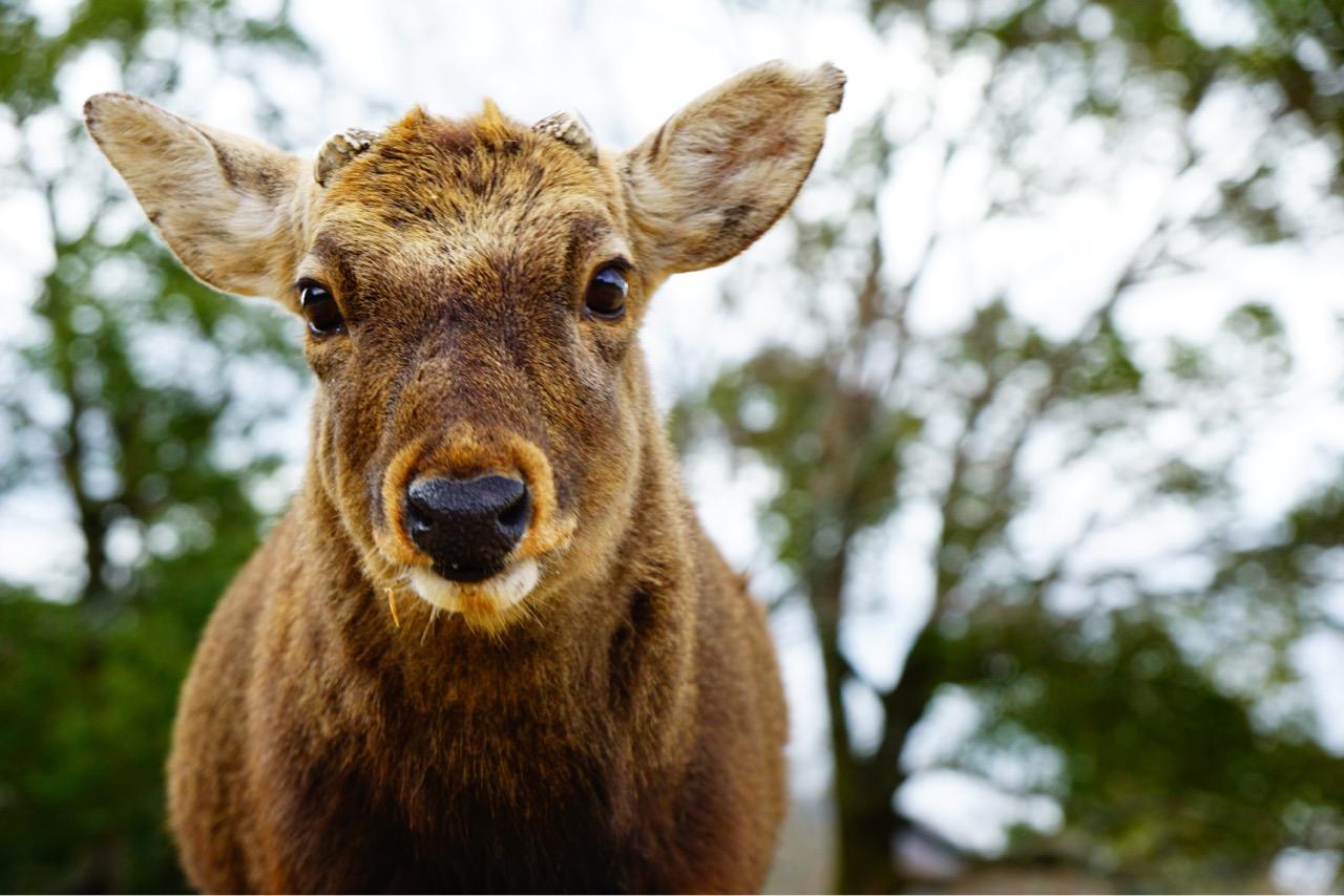 雄鹿の瞳は黒くて大きくてウルウル。とても可愛いです。