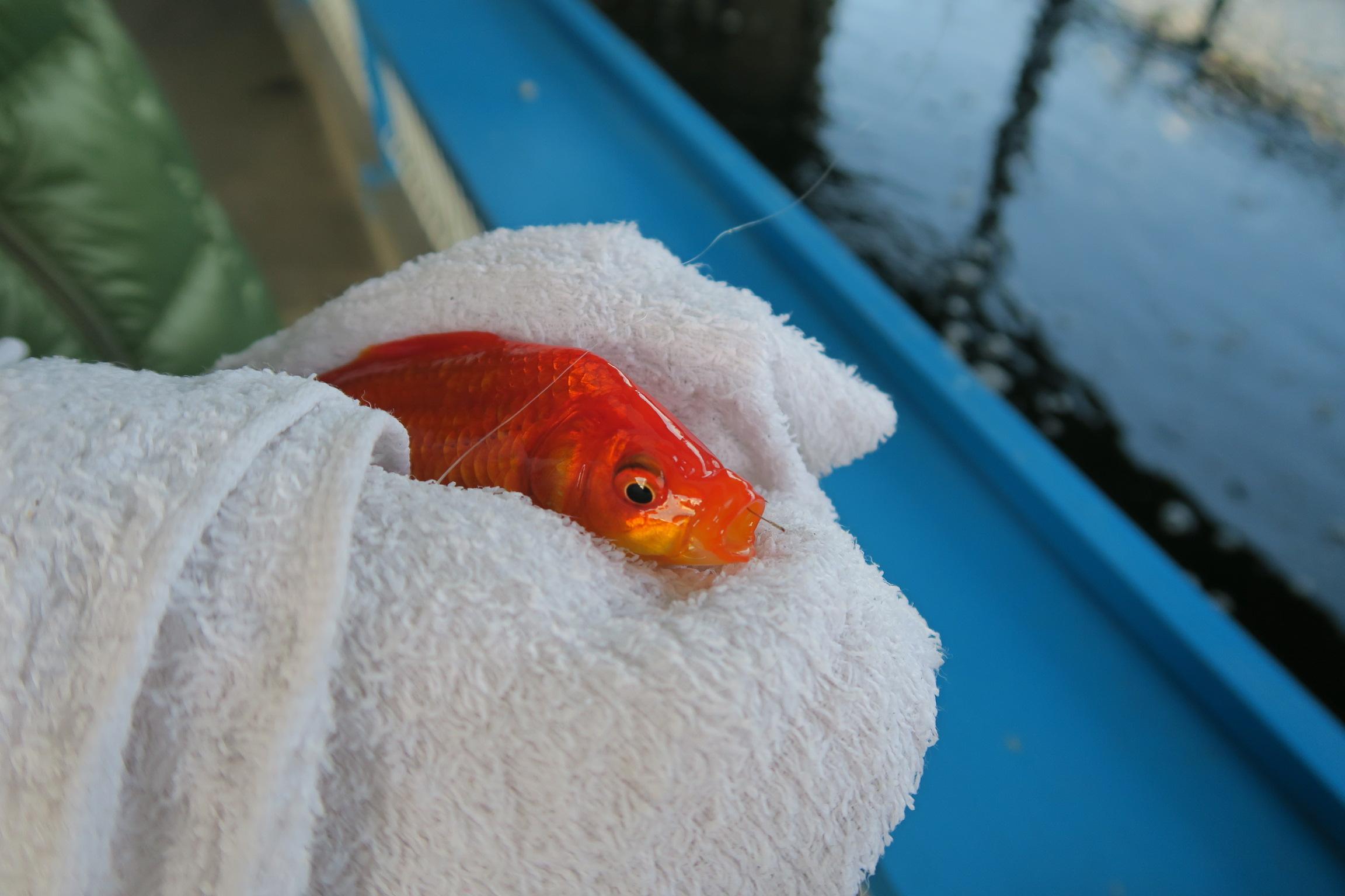 釣れたら濡れた布巾に包んで針を取ります。ちょうど口にひっかかってますね。