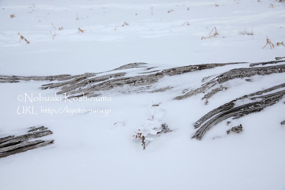 倒木も雪に覆われて造形に目を奪われます。