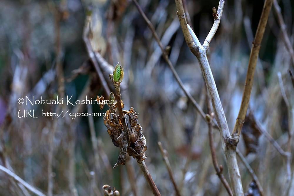 アジサイの葉が春を待ちます。