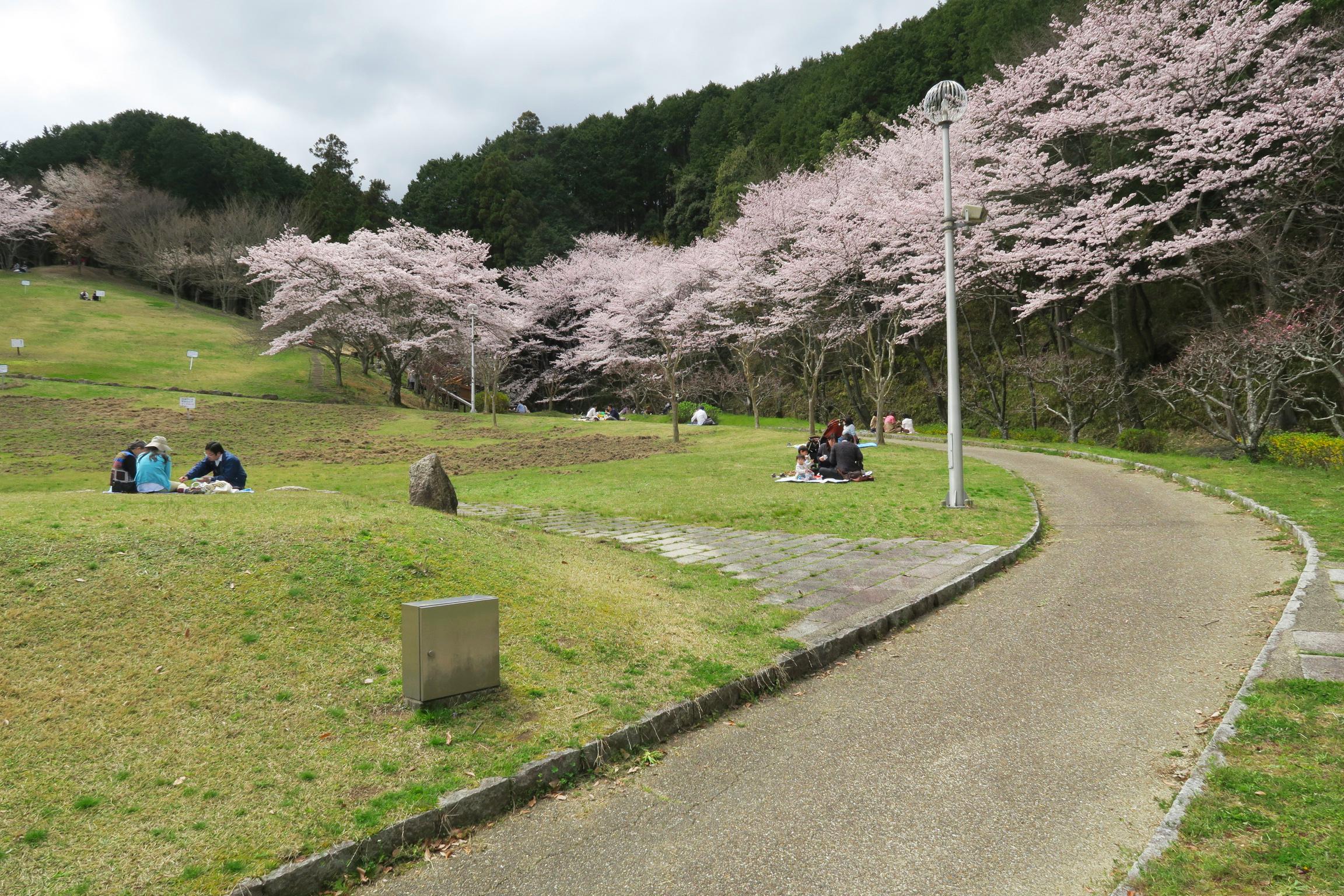 桜は満開!駐車場は満車でしたが、公園はひろ~いので、ゆったりとスペース確保できます。