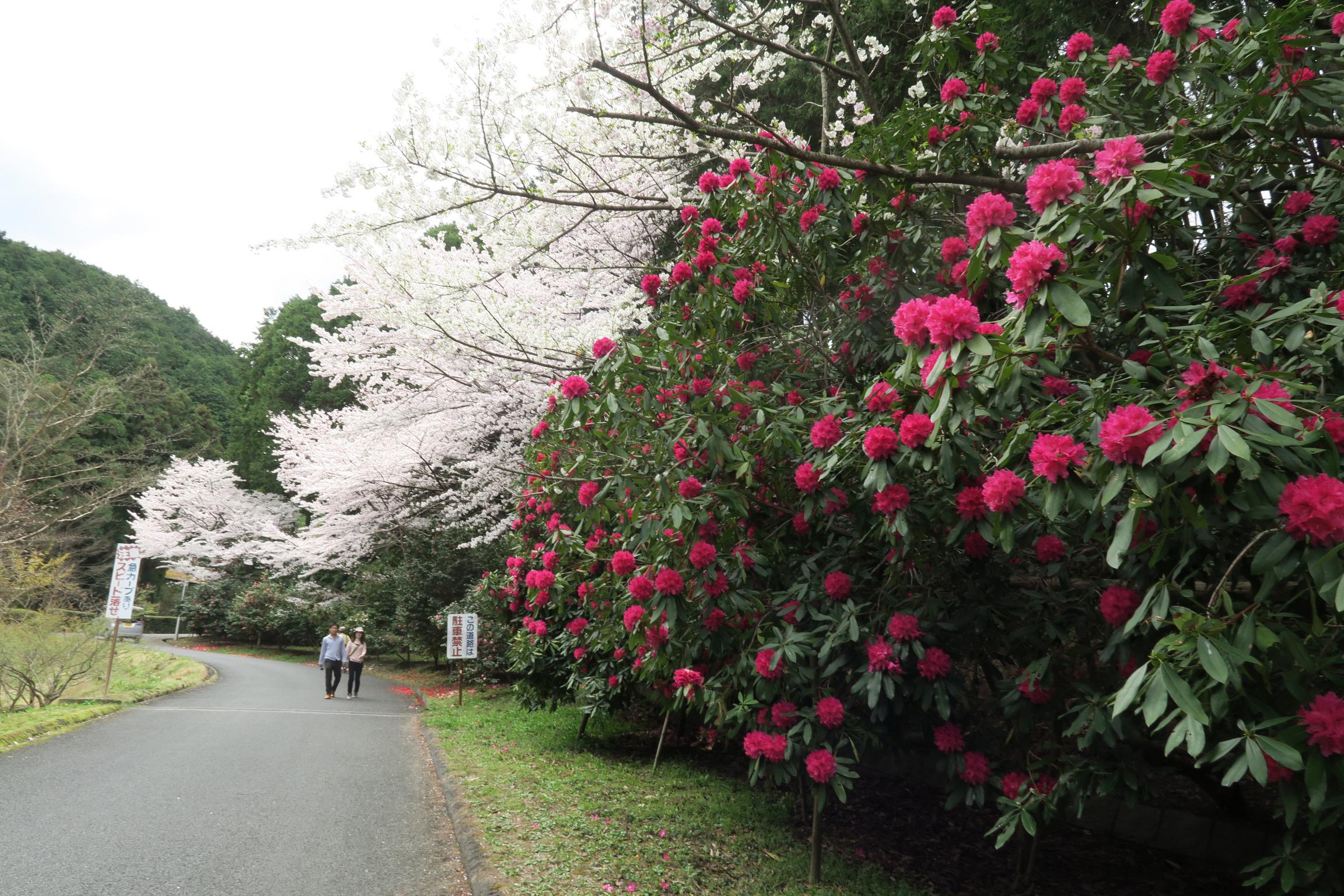シャクナゲもきれいに咲いていました。