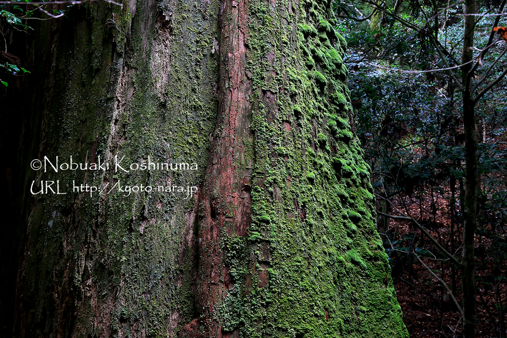 森の主のような大木が生きています。