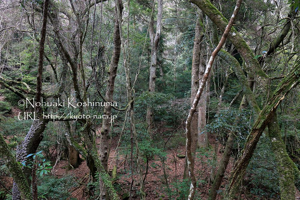 自然の厳しさを感じる荒々しい樹林帯。