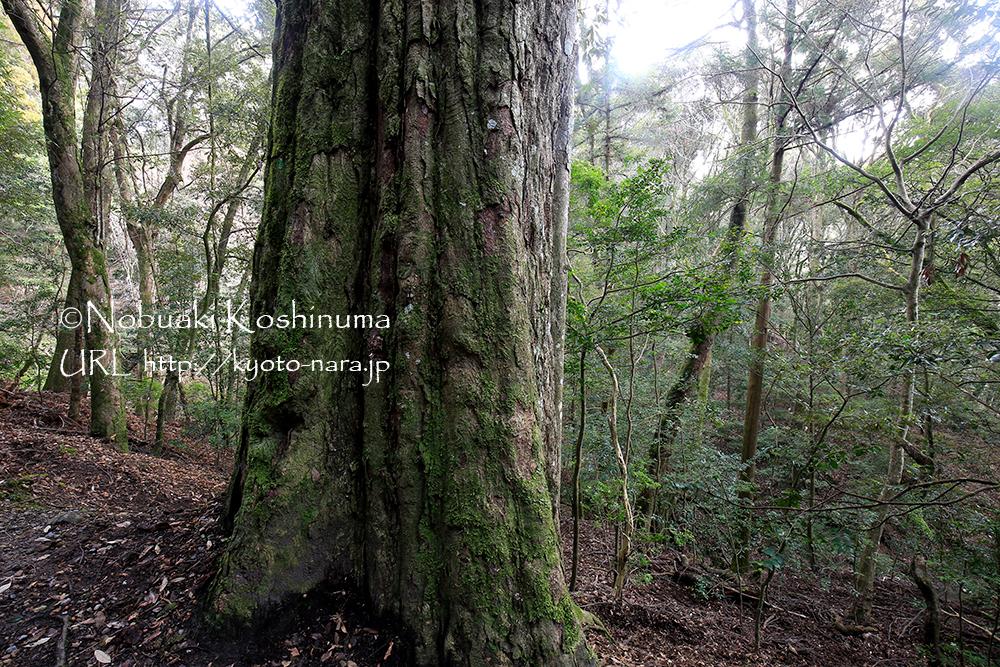 春日大社の聖域として守られてきた原始林。立派な大きな樹もたくさんありました。