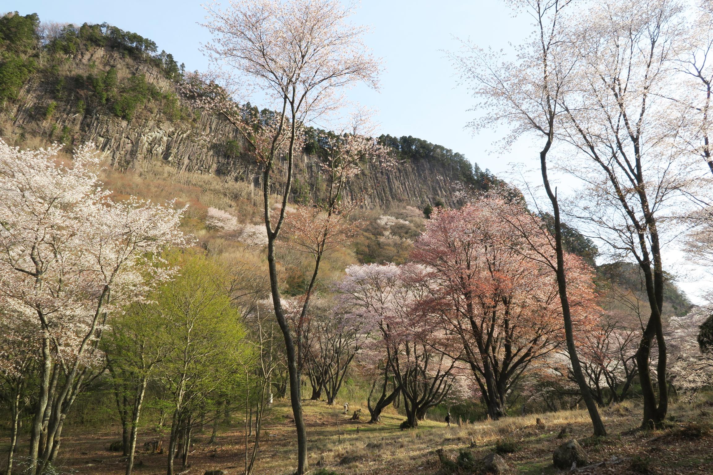 約300本の大木に桜が咲く姿は、他では味わえない風景です。
