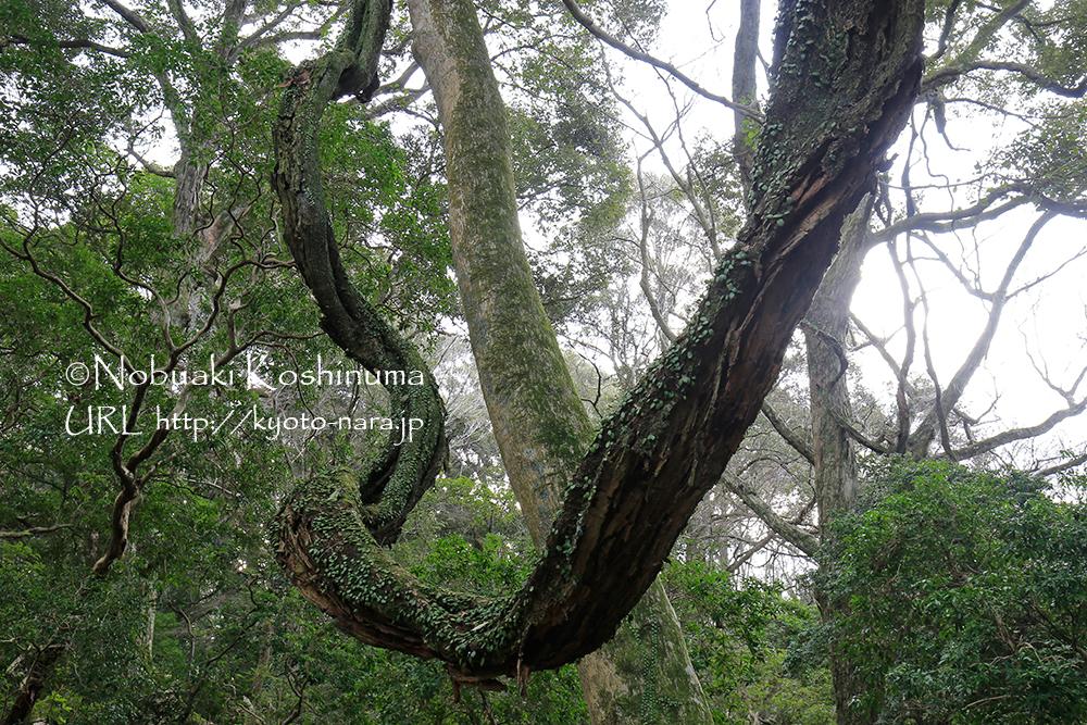 ささやきの小径。藤の木が、ダイナミックに巻き付いていました