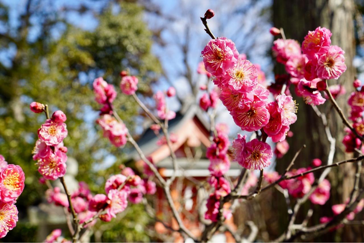 明るい境内と華やかな梅の花がとても綺麗でした!
