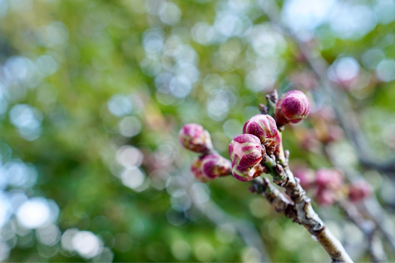 梅の蕾はとても可愛いです。