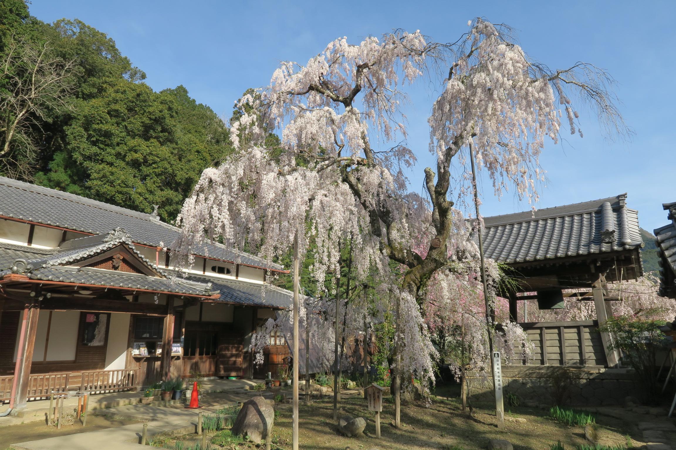 樹齢300年の小糸しだれ桜。参拝客の方が「桜の上の部分が少し痩せたかなぁ」と言ってました。