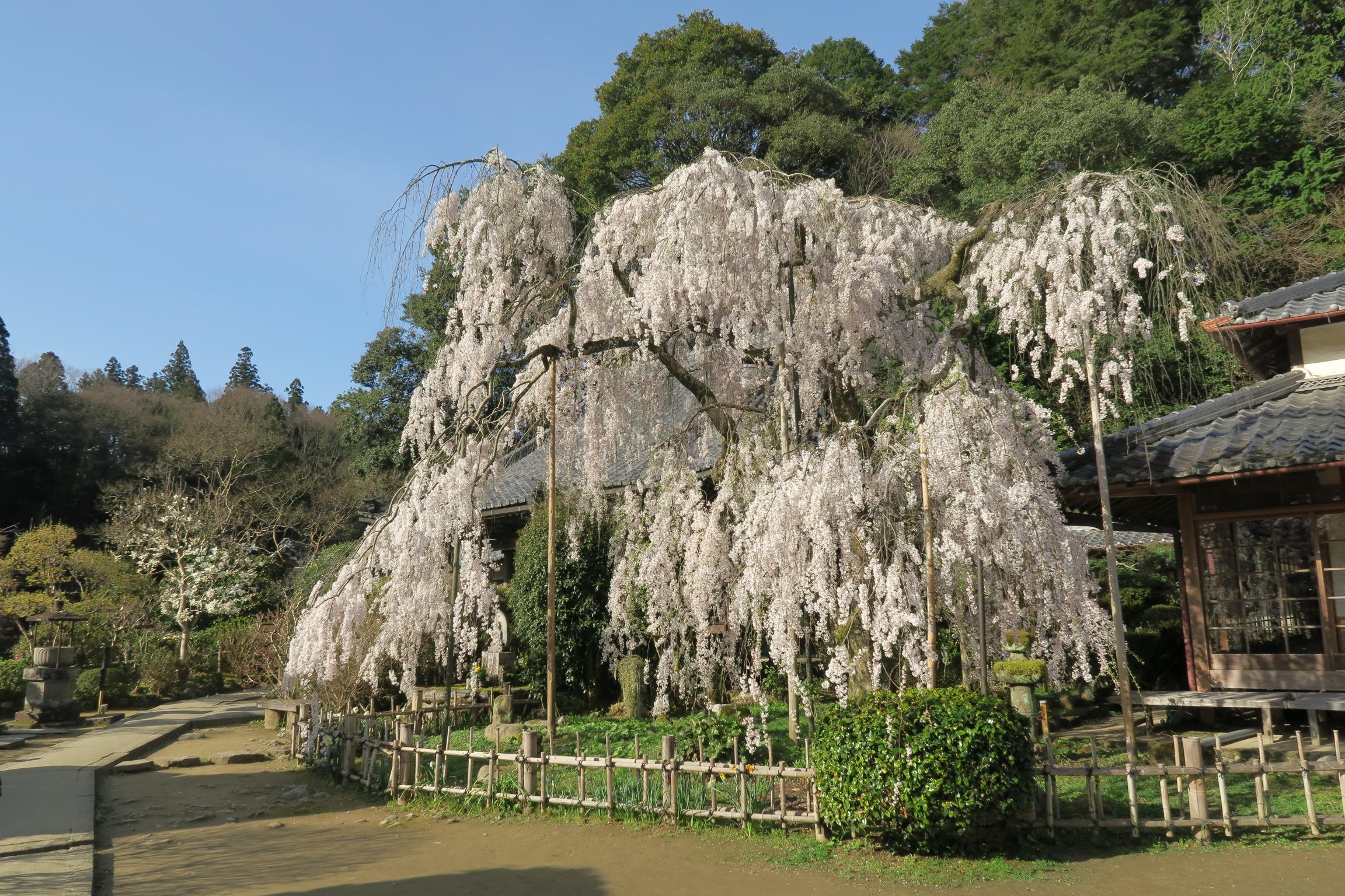 こちらも樹齢300年の小糸しだれ桜。さすが見事なものでした。