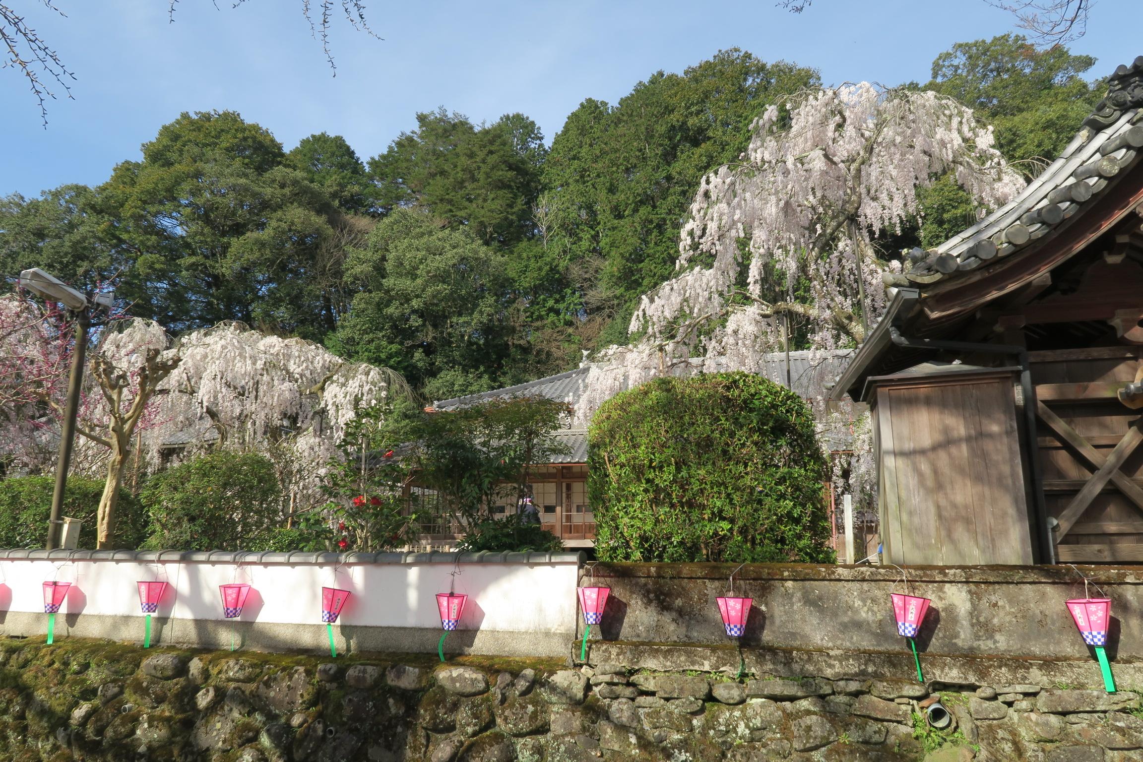 車道からみた大野寺としだれ桜。