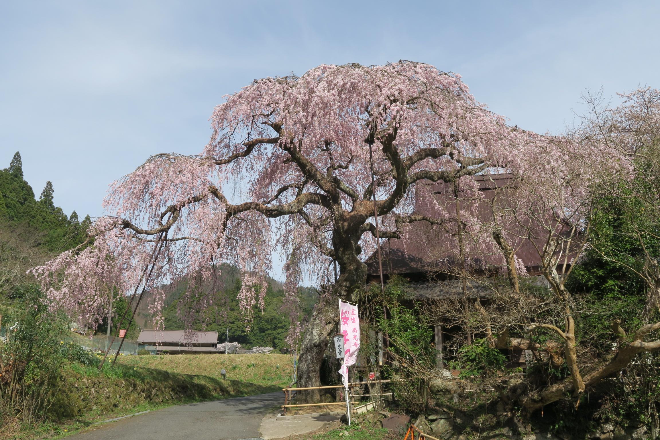 西光寺のしだれ桜。見事な枝ぶりでした。