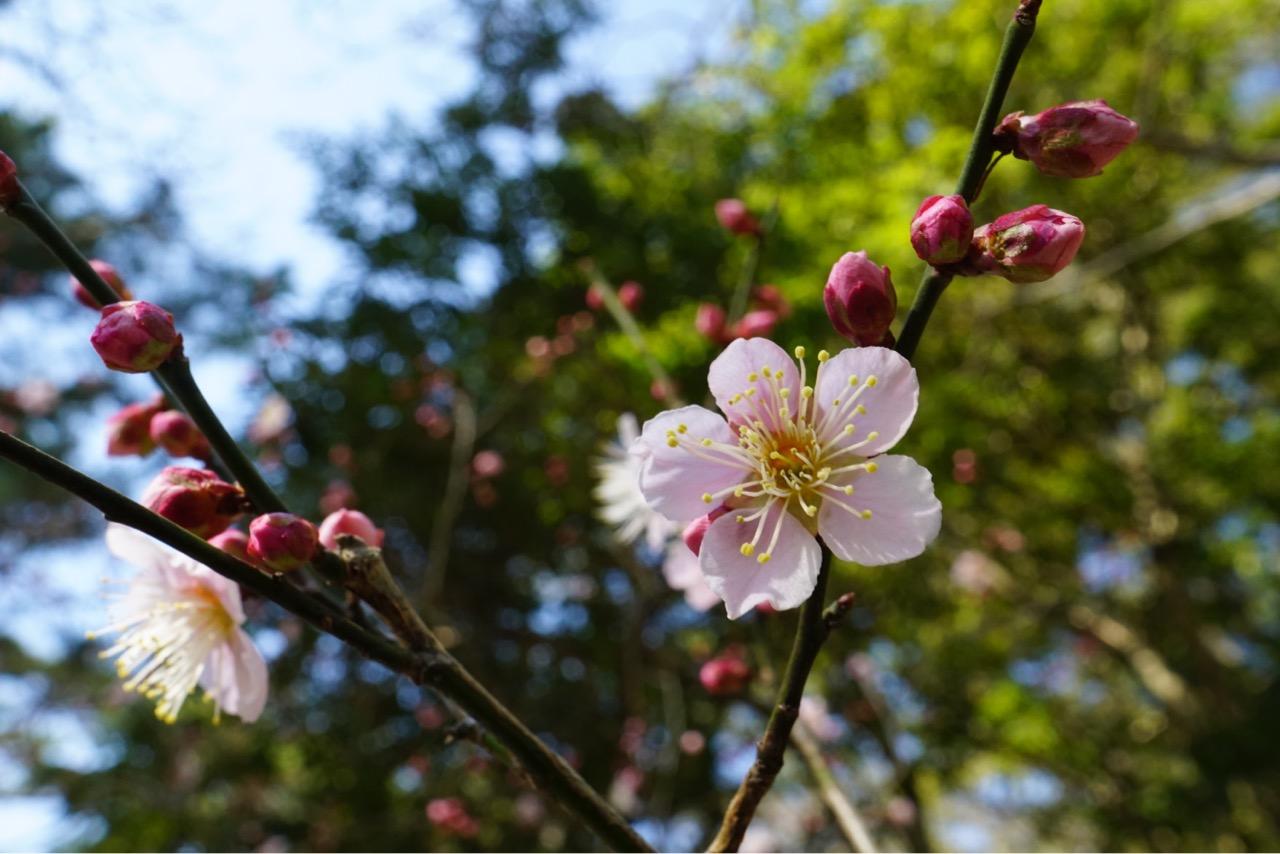 大和文華館の梅を見にいってきました。