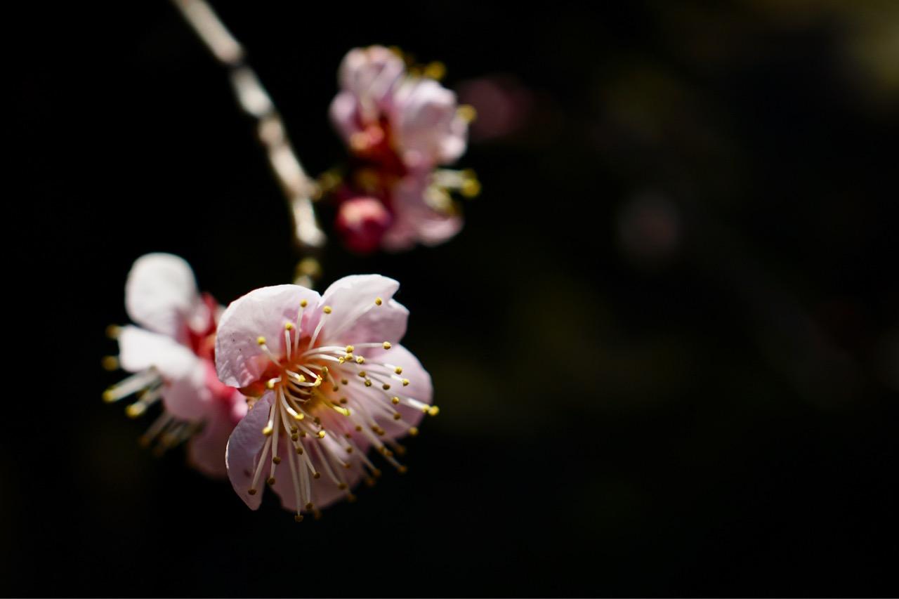 まだまだ蕾でしたが、ちらほら咲いていてとても綺麗でした。
