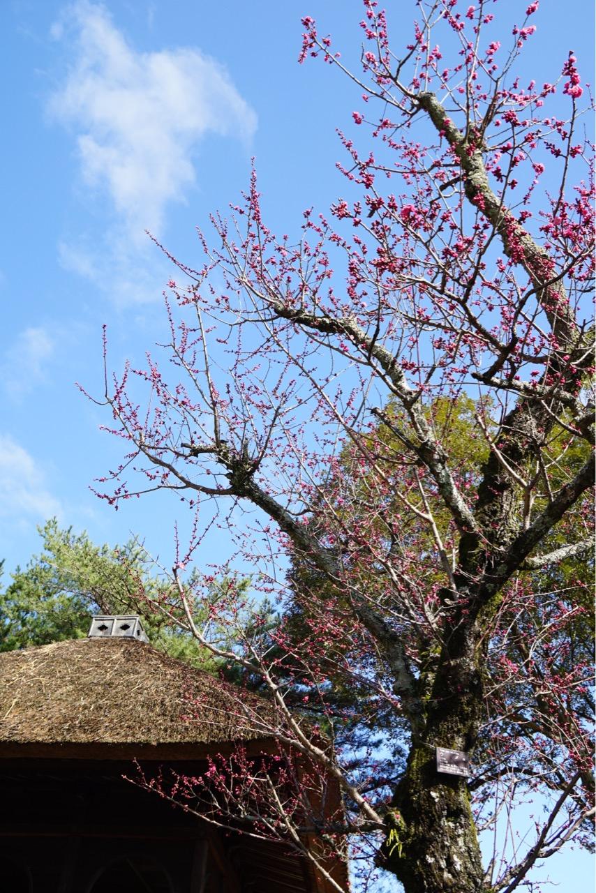 新緑の時期もとても綺麗ですが、梅の時期に見たのは初めてでとても綺麗でした。