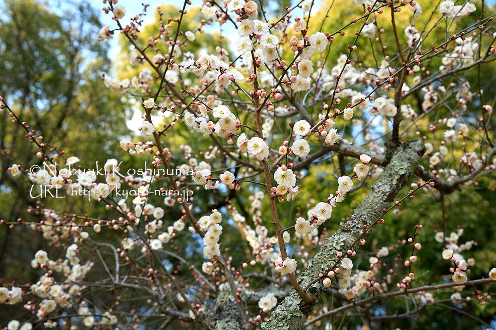 梅の花、満開!