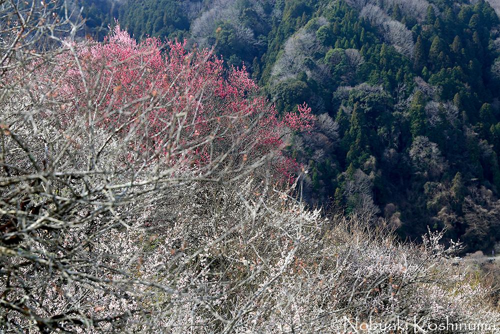 紅白の梅が景色を彩ります。