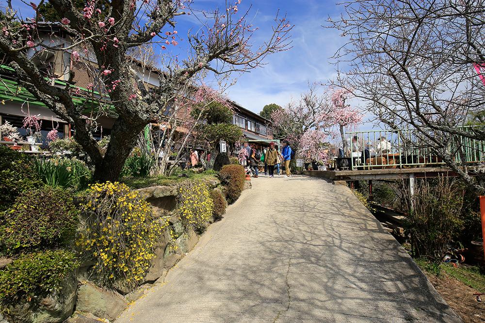 梅の盆栽が売られています。興味のある方は、「一目八景」から東に数分の所です。