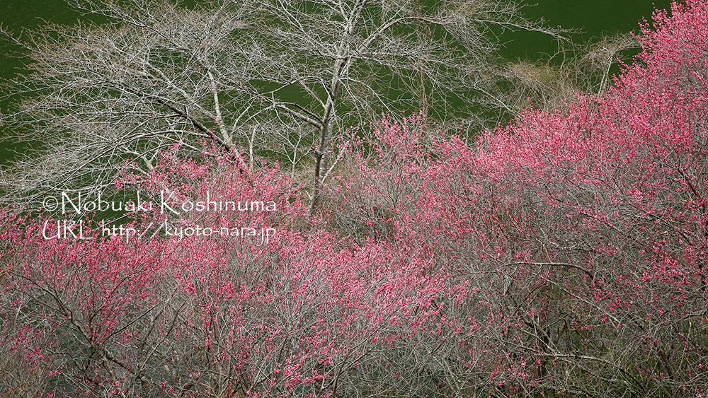 展望台「一目八景」から見えた赤い梅の場所に行ってみました。写真8枚目の所です。