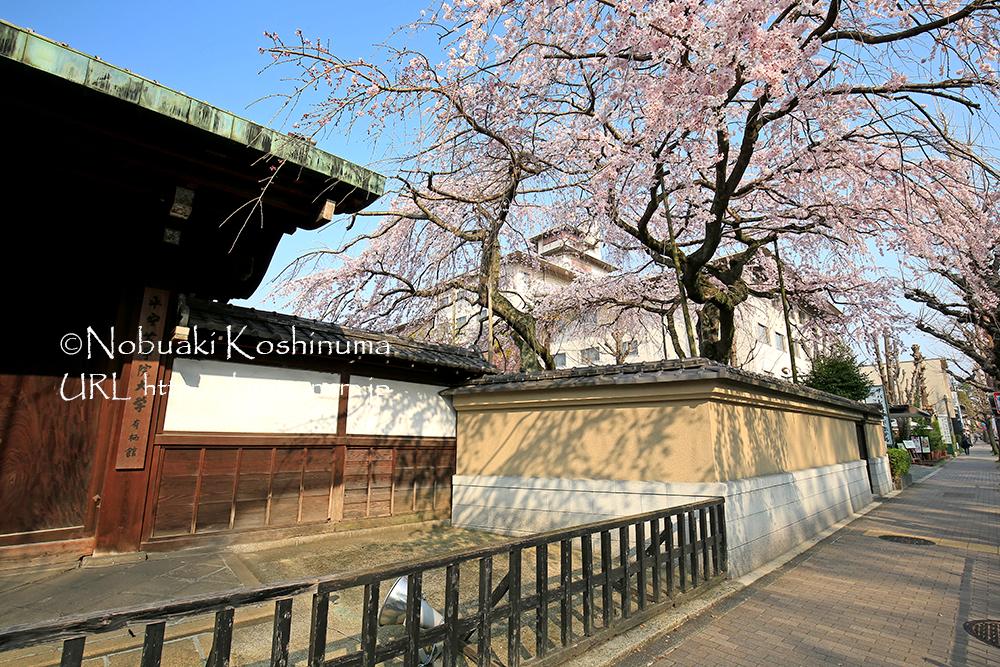 京都御苑向かいにある平安女学院大学の桜も見頃!