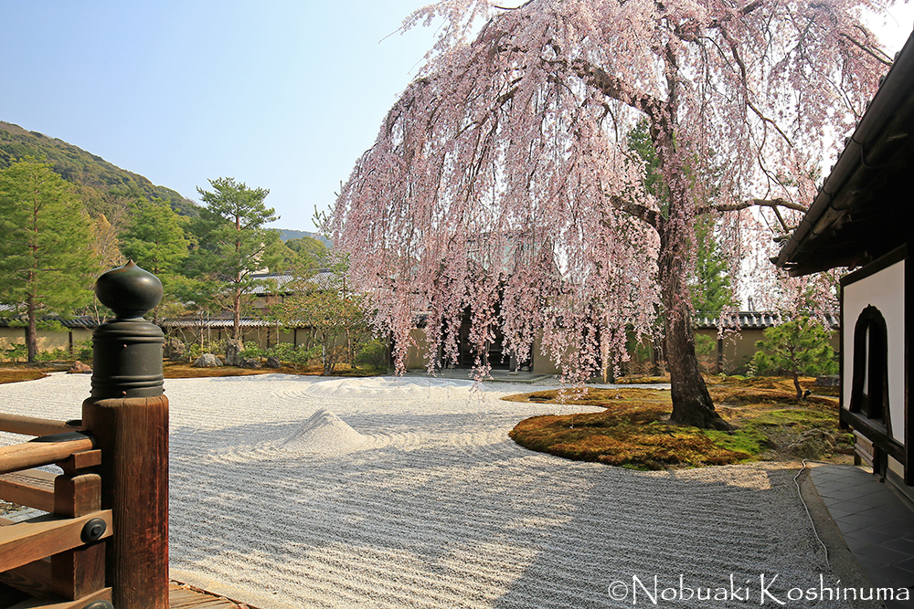 高台寺・方丈庭園のしだれ桜