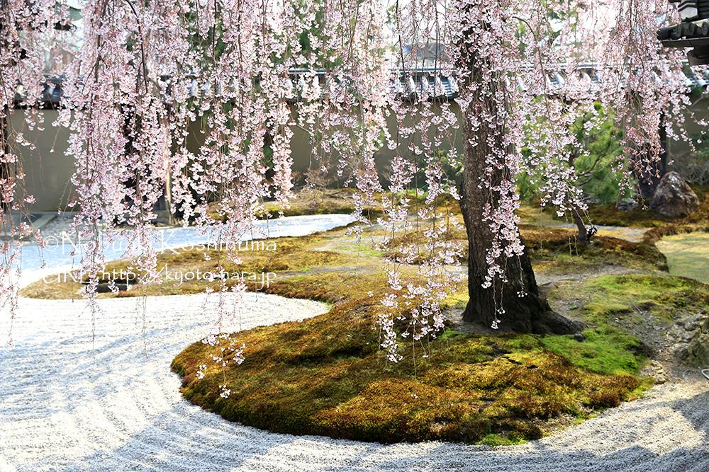 高台寺・方丈庭園のしだれ桜。