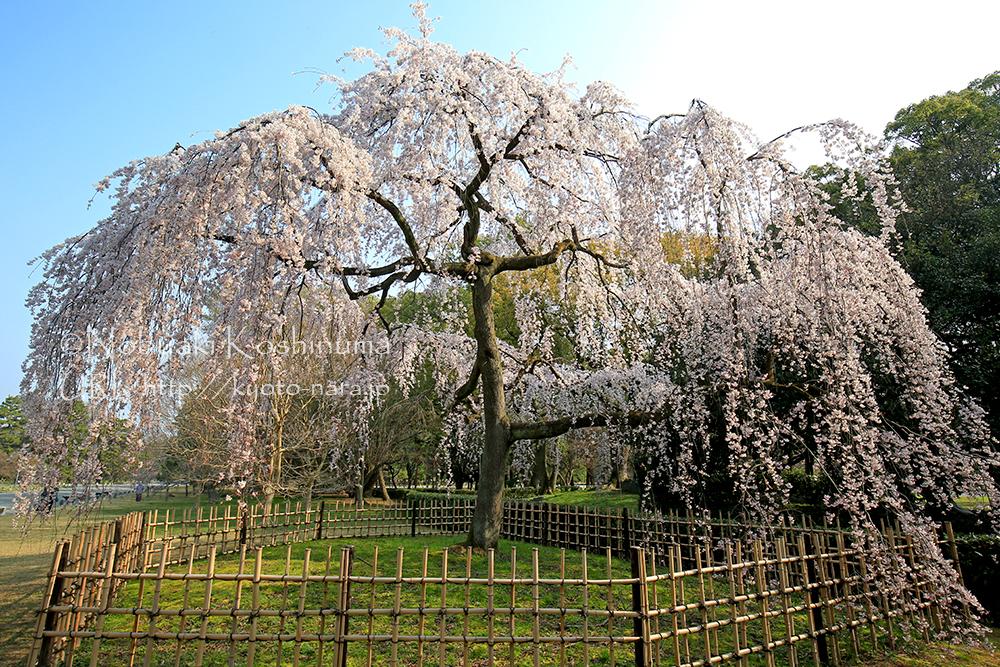朝日を浴びたしだれ桜。見事ですね!
