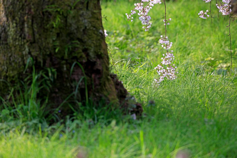 しだれ桜が芝生とお話をしているかのよう。。。