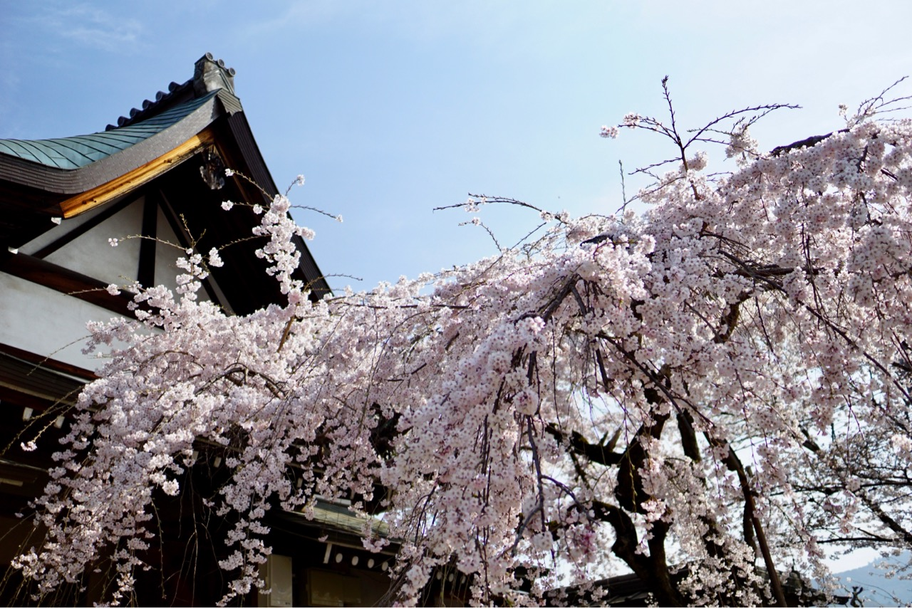 氷室神社のしだれ桜が満開です。