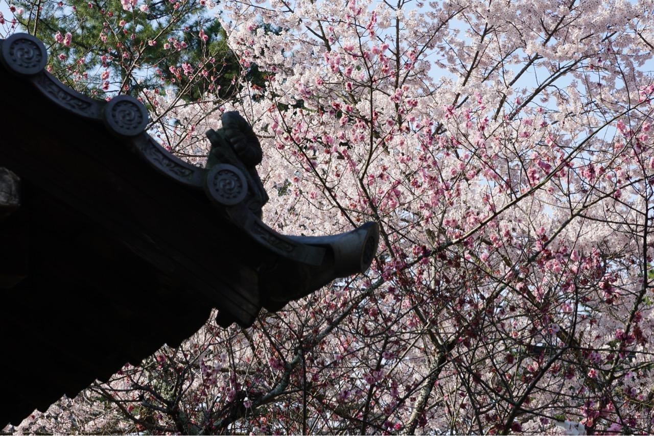 濃いピンクの桜も咲きかけていました。